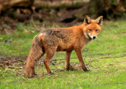 staring-fox